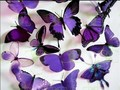 Everything purple - butterflies photo