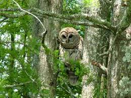 Honey Island Swamp Owl