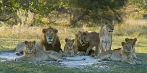Lion pride