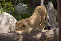 Lion stretching - lions photo