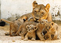 Lioness and cubs - lions photo