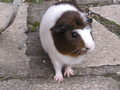 My pig, Snoopy - guinea-pigs photo
