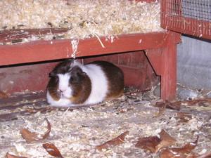 My pig, snoopy