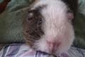My piggy, Sheepy! - guinea-pigs photo