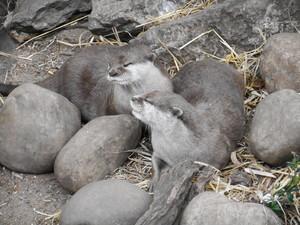 Otters @ Londres Zoo, UK