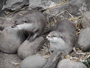 Otters @ Londres Zoo, UK