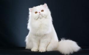 फारसी बिल्ली