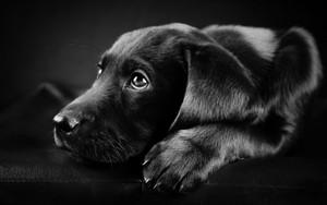 कुत्ते का बच्चा, पिल्ला
