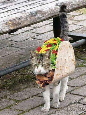 टैको, taco बिल्ली