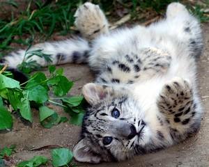 cute snow leopard cub
