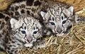 cute snow leopard cubs