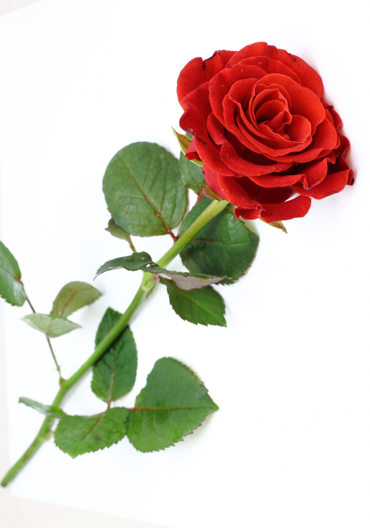 Red rose arbeen fan art 38512668 fanpop - Red rose flower hd images ...