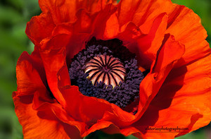 (7*12*15)Flower of the Day: Oriental Red mohn