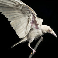 Albino Crow  - animals photo