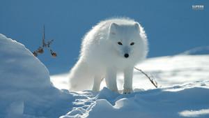 Arctic volpe