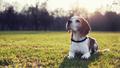 brak, beagle