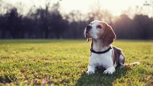 anjing pemburu, beagle