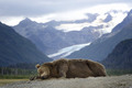 Bear          - animals photo