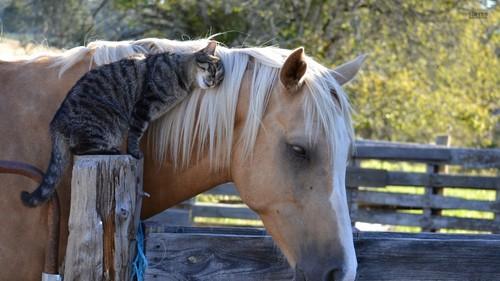 farasi karatasi la kupamba ukuta possibly containing a lippizan, a horse trail, and a horse wrangler called Cat and Horse