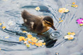 Duckling     - animals photo