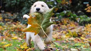 गोल्डन रिट्रीवर, गोल्डन कुत्ता