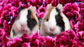 Guinea Pigs - guinea-pigs wallpaper