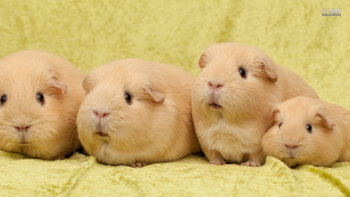 Guinea Pigs wallpaper probably with a guinea pig titled Guinea Pigs