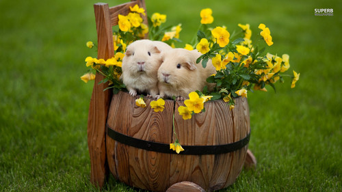 Guinea Pigs wallpaper with a spurge, a buttercup, and a winter jasmine entitled Guinea Pigs