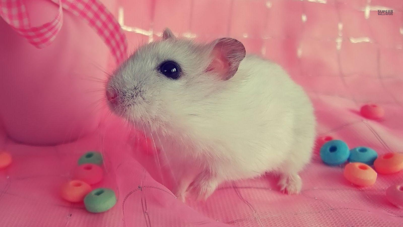 Hamster - Animals Wallpaper (38674645) - Fanpop