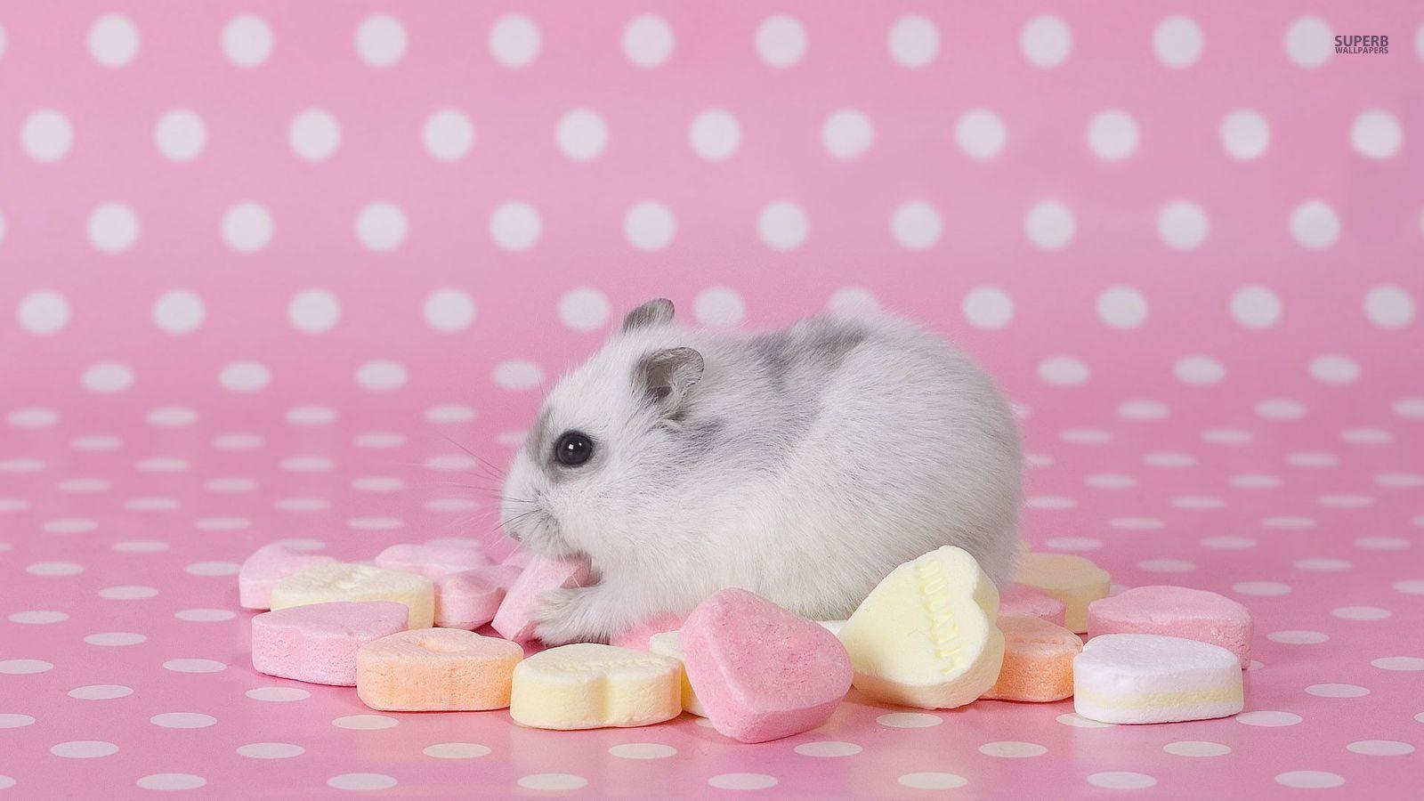 Hamster - Animals Wallpaper (38674646) - Fanpop