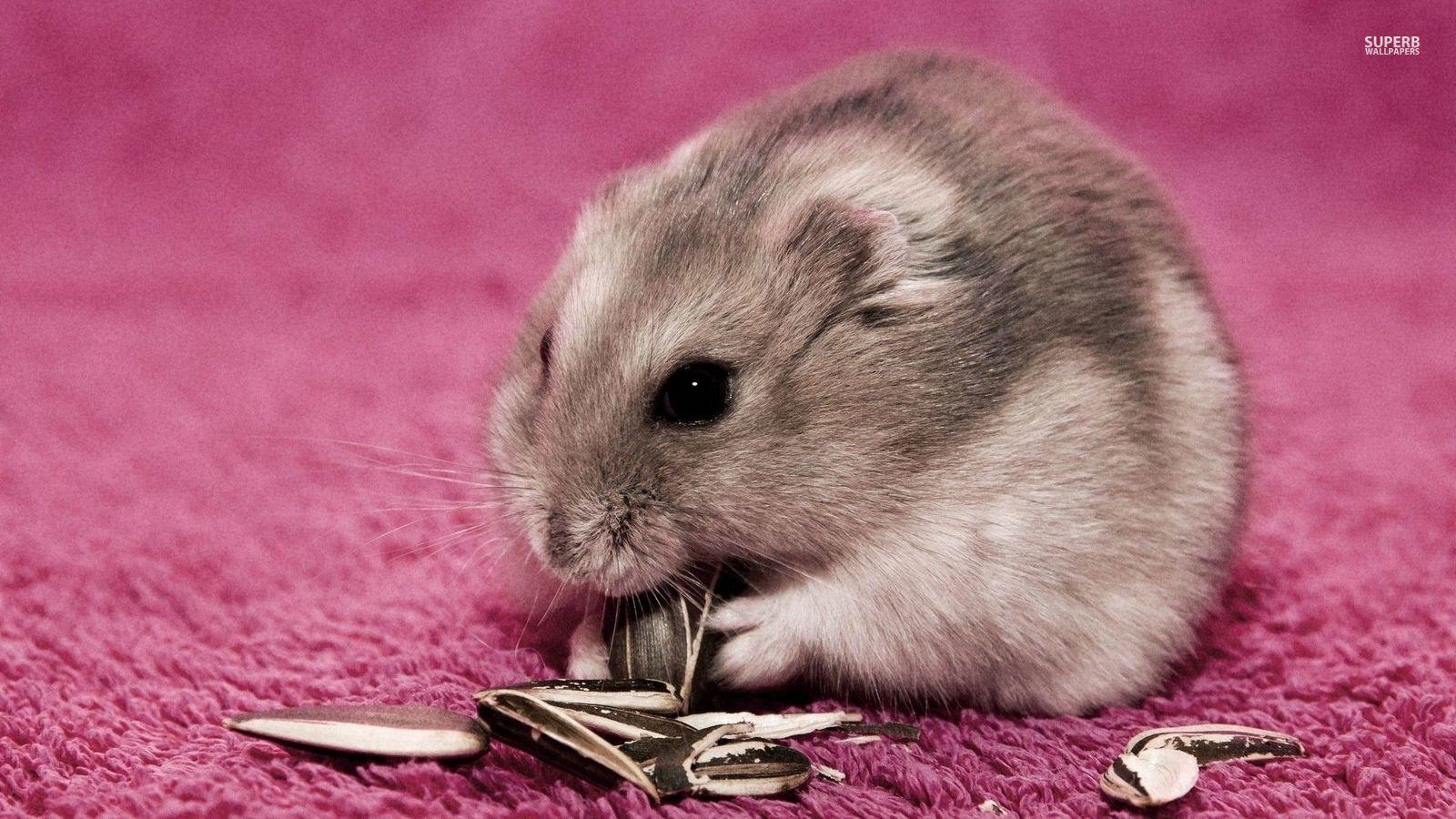 Hamster - Animals Wallpaper (38674647) - Fanpop