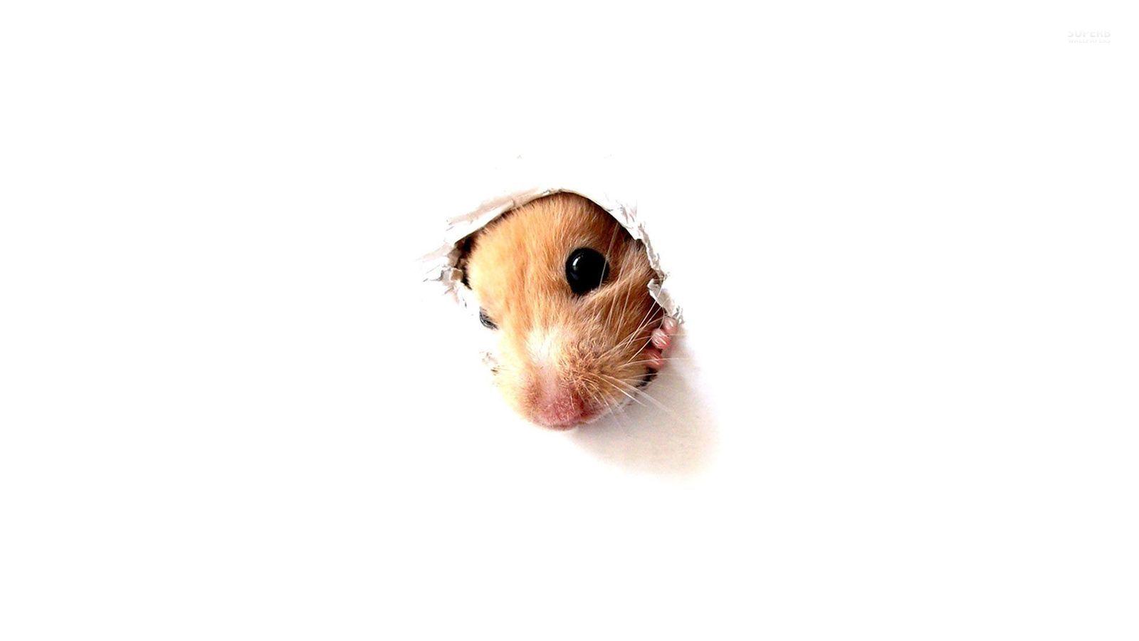 Hamster - Animals Wallpaper (38674650) - Fanpop
