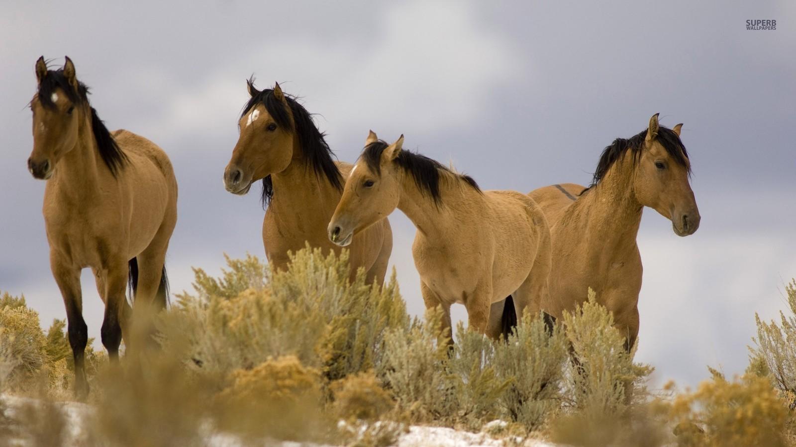 Top Pferde Bilder Pferde HD Hintergrund and background Fotos (38672752) &RR_09