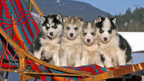 Siberian Huskies wallpaper probably containing a sled dog, a siberian husky, and a musher titled Husky