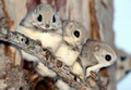 Japanese Flying Squirrels - animals photo