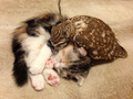 Kitten and Owl  - animals photo