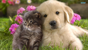 Labrador with Kitten
