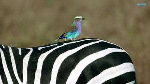 Lilac Breasted Roller on a Zebra