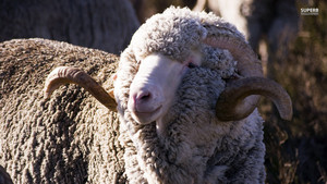 Merino kambing biri-biri