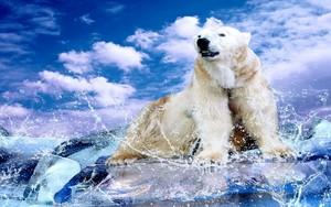Polar orso