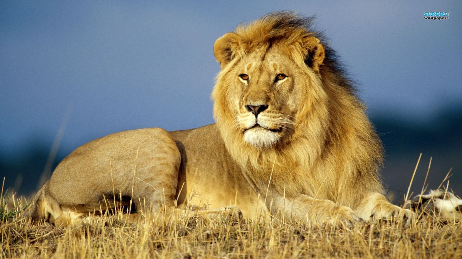 Relaxed Lion   binatang wallpaper 20   fanpop