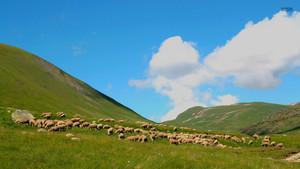 ovelha, ovelhas