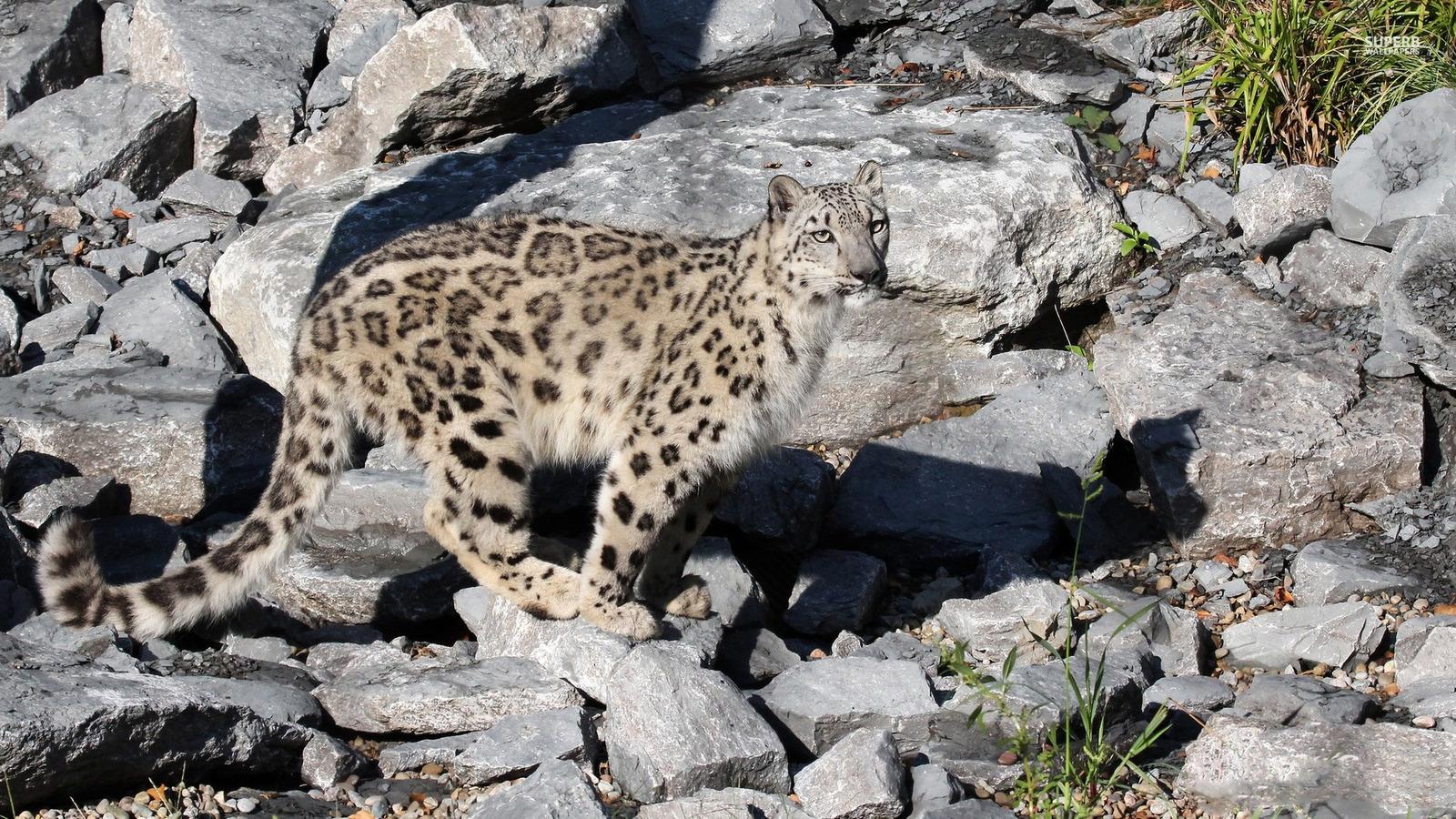Final, sorry, Search snow leopard porn