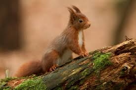 THE RED SQUIRREL! :O