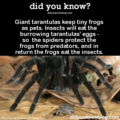 Tarantulas have pet frogs! - animals photo