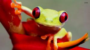 baum Frog