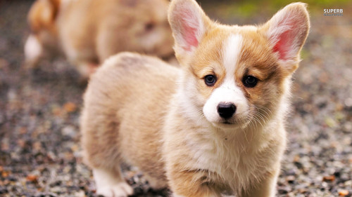 Dogs wallpaper possibly with a pembroke and a corgi entitled Welsh Corgi