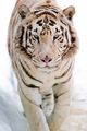 White Tiger  - animals photo