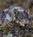 Wolf               - animals photo
