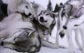 Wolves     - alpha-and-omega-2-a-howl-iday-adventure photo